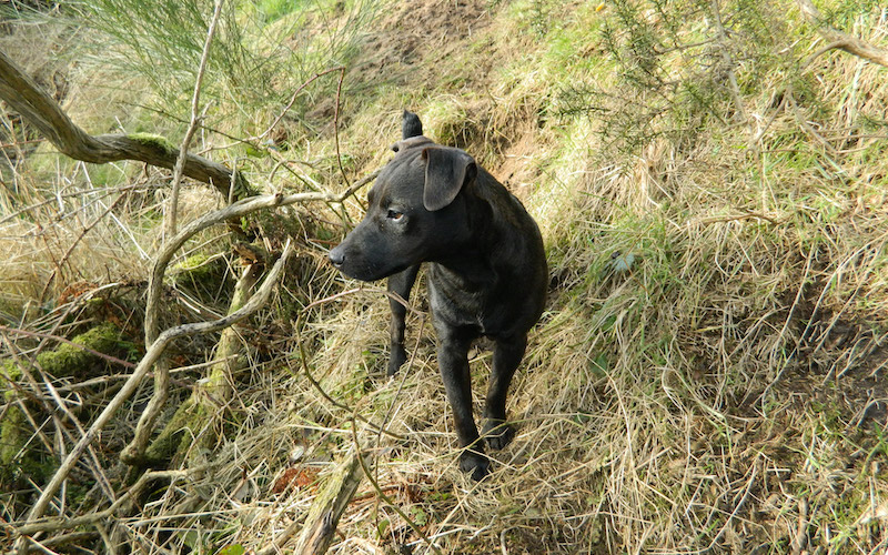 Are Patterdale Terriers Good Pets?