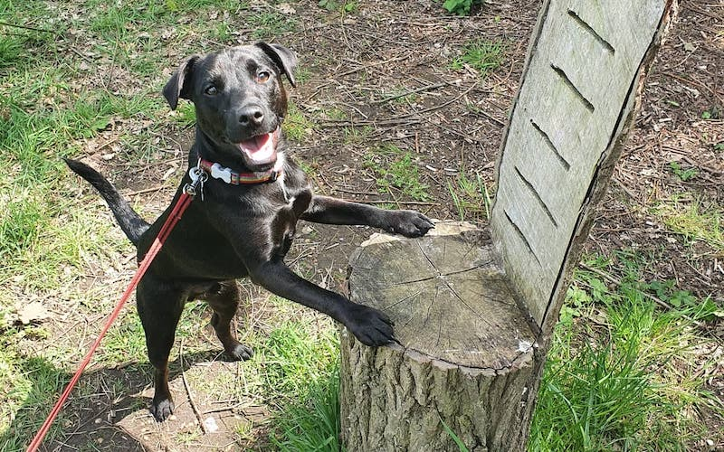 should Patterdale terriers have tail docked?