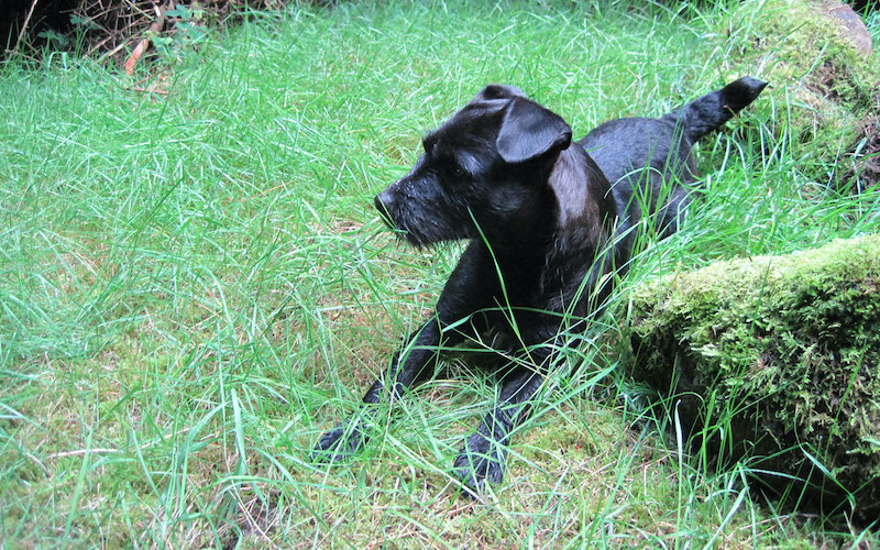 Are Patterdale Terriers working dogs or Pets?
