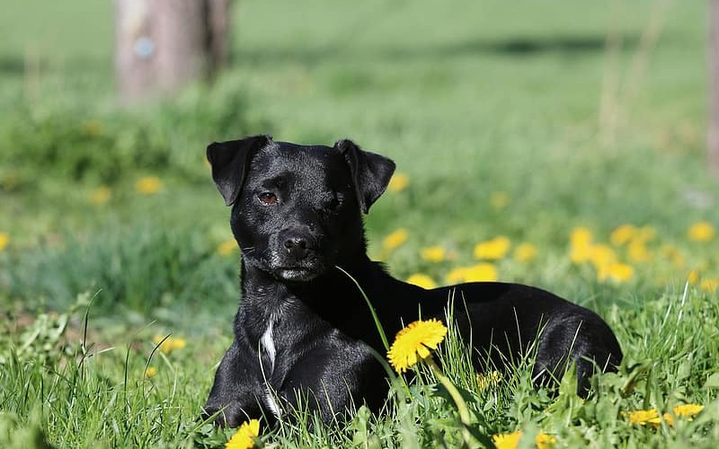 Can Patterdale Terriers be left alone