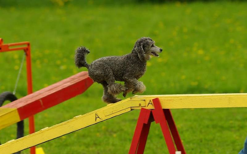Puppy Agility Training