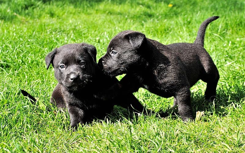 how to choose a good Patterdale terrier breeder
