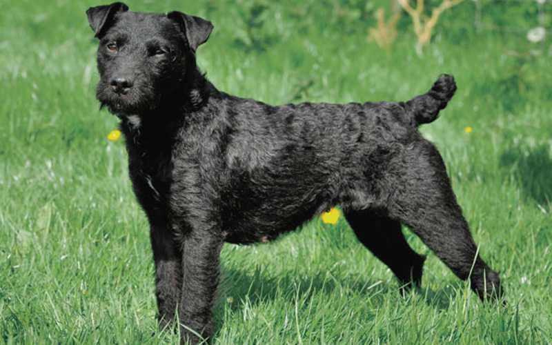 Long Haired Patterdale Terrier