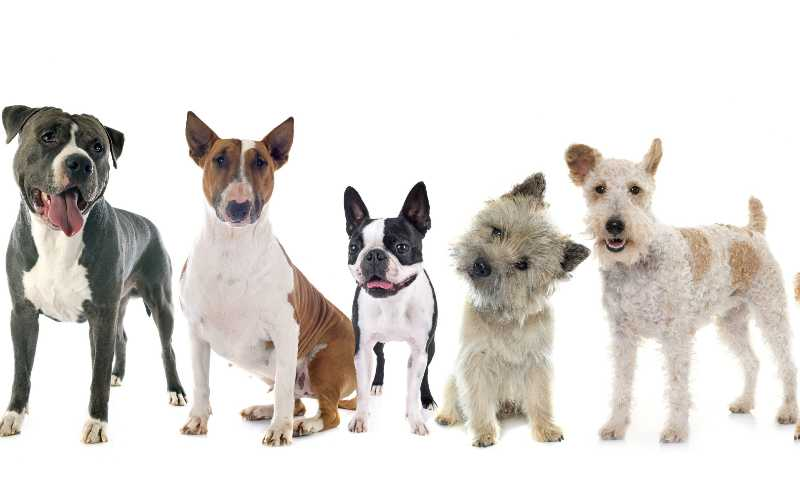 Popular Terrier Breeds