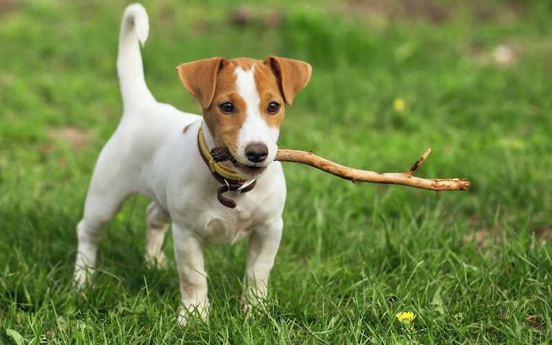 Terrier Traits - What to expect when you get a Terrier