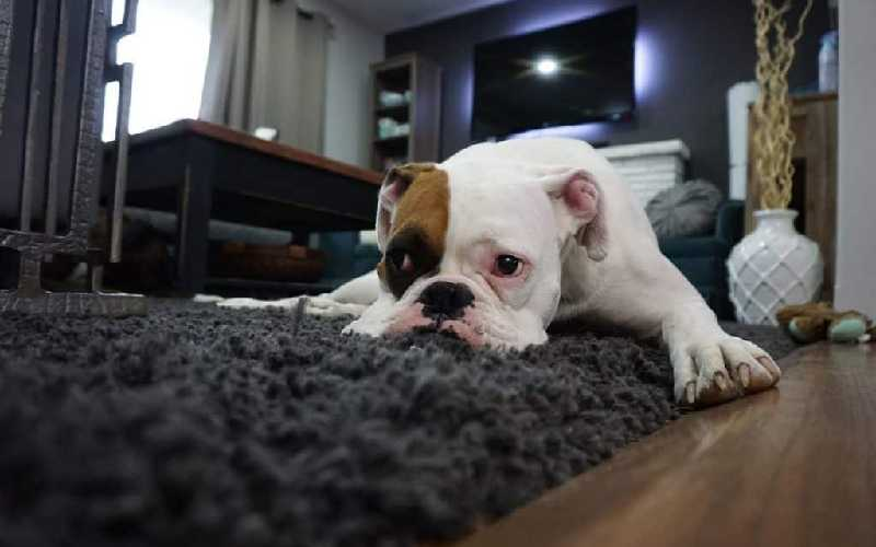 Why do dogs scratch carpet
