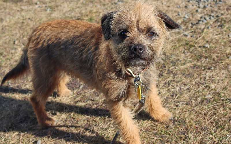 Introducing the Border Terrier